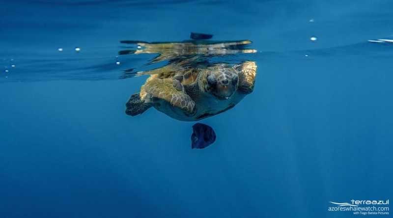 Loggerhead turtle / Caretta caretta