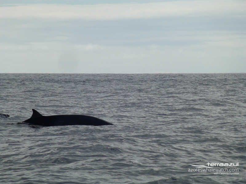 Sowerby's beaked whale / Mesoplodon bidens