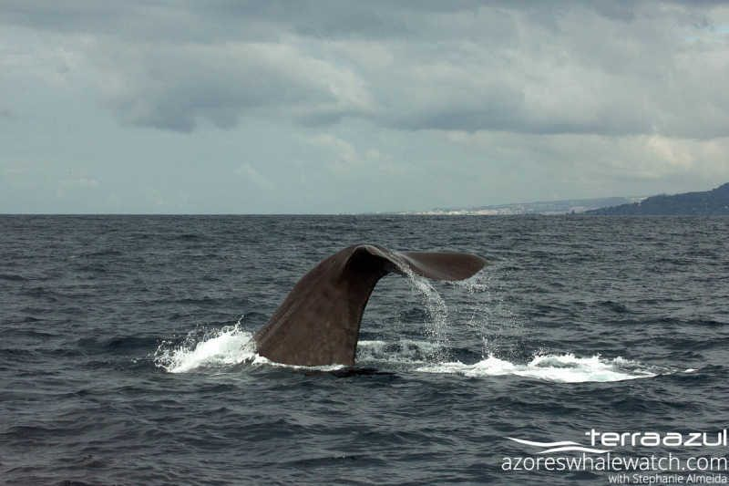 Sperm Whale/Physeter macrocephalus