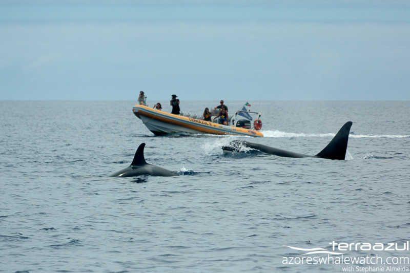 Orcas/Orcinus orcas