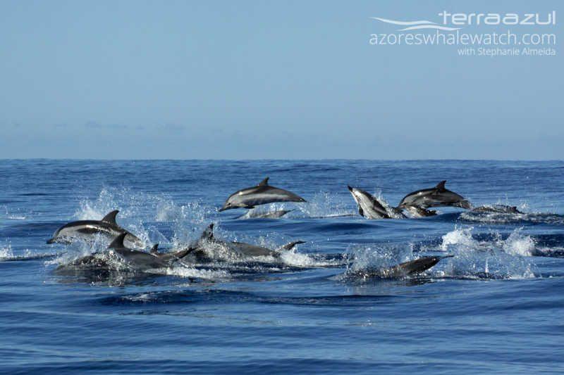 Striped Dolphins/Stenella coeruleoalba